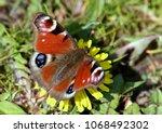 european common peacock...   Shutterstock . vector #1068492302