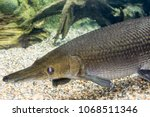 arapaima gigas  also known as... | Shutterstock . vector #1068511346