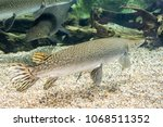 arapaima gigas  also known as... | Shutterstock . vector #1068511352