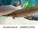 arapaima gigas  also known as... | Shutterstock . vector #1068511442