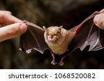 bat in the hands of a man  a... | Shutterstock . vector #1068520082