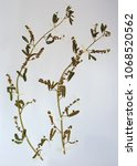 Small photo of Herbarium sheet with Melilotus indicus, the Sweet clover or Sour clover, family Fabaceae (Leguminosae)