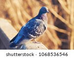 Proud dove pigeon basks on warm rays sunshine sun spring April. Looks turned head
