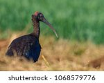Small photo of red naped ibis