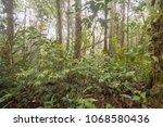 young podocarpus tree  growing... | Shutterstock . vector #1068580436