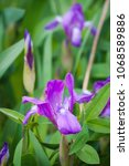 Iris Flowers And Bulbs In A...