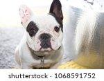 french bulldog portrait outddor ... | Shutterstock . vector #1068591752