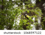 parus major  a small european... | Shutterstock . vector #1068597122