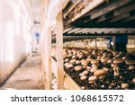 mushrooms portobello and... | Shutterstock . vector #1068615572