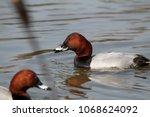 male common pochard  aythya... | Shutterstock . vector #1068624092