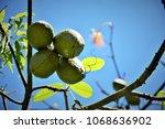 ceiba fruit speciosa growing on ... | Shutterstock . vector #1068636902