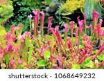 carnivorous plant and flower in ... | Shutterstock . vector #1068649232