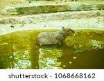 capybara in thai  thailand.   Shutterstock . vector #1068668162