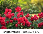 Stock photo beautiful red roses bush in summer morning garden on bright summer day background 1068676172