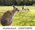 a western grey kangaroo with... | Shutterstock . vector #1068733898