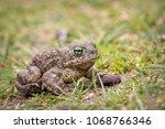 the natterjack toad  bufo... | Shutterstock . vector #1068766346