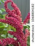 Small photo of Amaranthus tricolor seeds or known as Red Amaranth