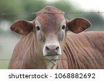 Cow Calf Through Fence
