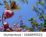 cherry blossom isolated flower... | Shutterstock . vector #1068890522