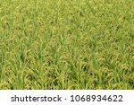 green field with rice stalks in ...   Shutterstock . vector #1068934622