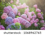 hydrangea is pink  blue  lilac  ... | Shutterstock . vector #1068962765