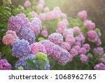 hydrangea is pink  blue  lilac  ... | Shutterstock . vector #1068962765
