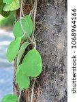Small photo of Dependency of Hoya kerrii and tree