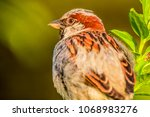 male house sparrow or passer... | Shutterstock . vector #1068983276