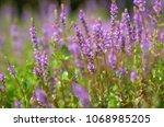 rotala rotundifolia in nature   Shutterstock . vector #1068985205