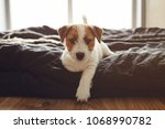 Stock photo jack russell terrier puppy sitting on a bed at home 1068990782