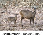 female and young hog deer  ...   Shutterstock . vector #1069040486