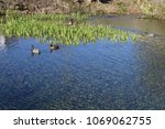 two ducks on pond with reeds... | Shutterstock . vector #1069062755