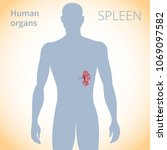 the location of the spleen in... | Shutterstock .eps vector #1069097582