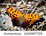 Question Mark Butterfly ...