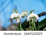 double snowdrop  galanthus... | Shutterstock . vector #1069123325