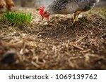 chickens in the yard graze ... | Shutterstock . vector #1069139762
