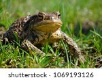 common toad on green grass | Shutterstock . vector #1069193126