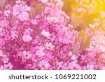 pink flowers blossom in the... | Shutterstock . vector #1069221002
