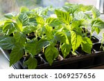 seedling of peppers. young... | Shutterstock . vector #1069257656