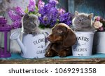 Stock photo puppy dachshund and kitten scottish fold 1069291358