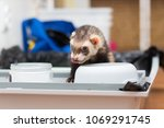 the old ferret eats dry food... | Shutterstock . vector #1069291745