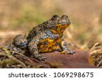yellow bellied toad  bombina... | Shutterstock . vector #1069298675
