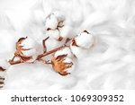 branch of white cotton flowers | Shutterstock . vector #1069309352
