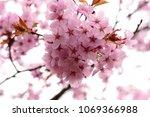 cherry blossom flower | Shutterstock . vector #1069366988