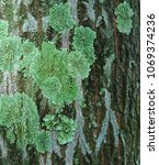Small photo of Green lichens on the bark which may show a lack of vigour in the affected tree.