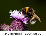 Bumble Bee On Pink Thistle...