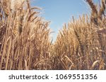 golden wheat field and sunny day | Shutterstock . vector #1069551356