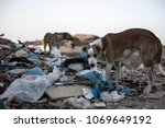Feral Dogs Foraging In Rubbish...
