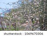 natural kapok trees  ceiba... | Shutterstock . vector #1069670306
