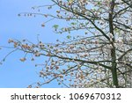 natural kapok trees  ceiba... | Shutterstock . vector #1069670312